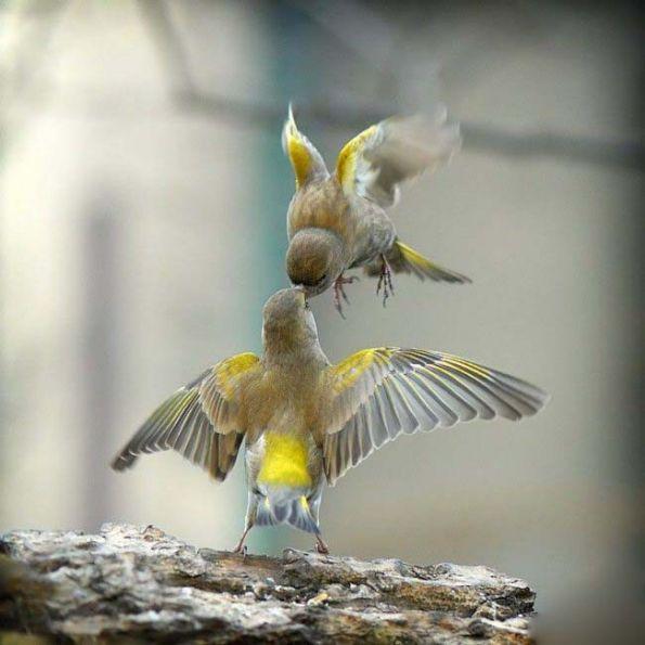 鸟儿接吻也疯狂